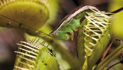 Venus flytrap captured katydid