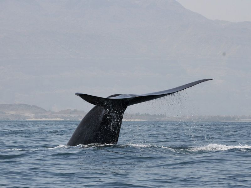 A Northwest Indian Ocean blue whale flukes up for a dive off the Arabian Sea coast of Oman.