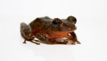 Three New Frog Species Face an Uncertain Future