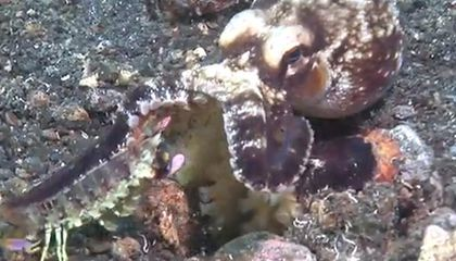 VIDEO: Mantis Shrimp vs. Octopus