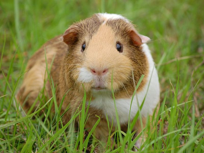 The Father of Modern Chemistry Proved Respiration Occurred by Freezing a Guinea Pig