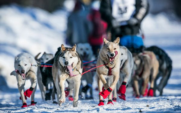 Mush: Lack of snow pushes Iditarod race north