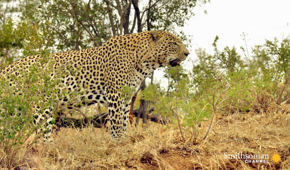 Preview thumbnail for video'Leopards Treat Marula Trees Like Pantries for Their Kills