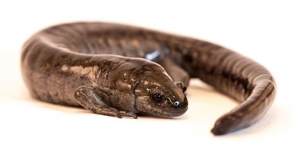 When Is Sex Worth Going the Distance? When You're a Salamander, Apparently