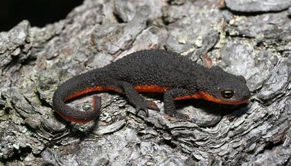 Toxic Newts Use Bacteria to Become Deadly Prey
