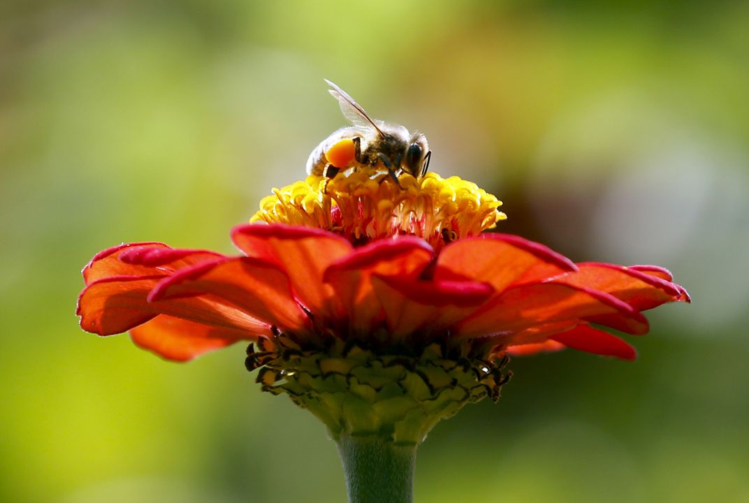 Are zombees a doomsday for bees?