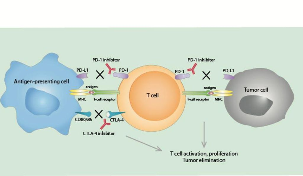 Antibodies that block PD-1 and CTLA-4, called immune checkpoint inhibitors, are used in cancer immunotherapy to block signals from tumor cells and other regulatory cells. This activates the immune system and leads to an increase in T cells which then kill tumor cells.
