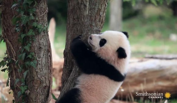Preview thumbnail for video'Wild Inside The National Zoo: Bao Bao's First Year