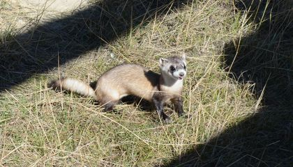 Experimental Covid-19 Vaccine Reaches America's Endangered Ferrets