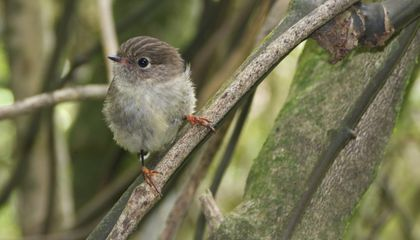 Why Island Birds Have Bigger Brains Than Their Mainland Counterparts