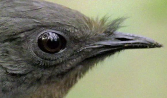 Preview thumbnail for video'Weird Science: Lyrebird, Nature's Mimic