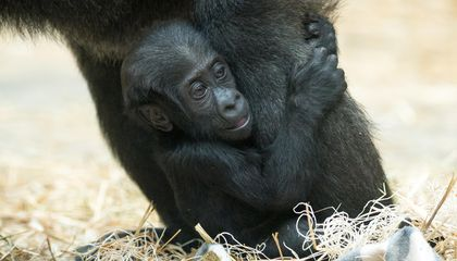 Male Gorillas That Babysit End Up With Larger Brood of Their Own