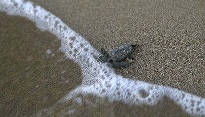 Image: Endangered Green, Loggerhead turtles make comeback in Cyprus
