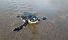 Climate Change Is Turning Green Sea Turtles Female. That's a Problem