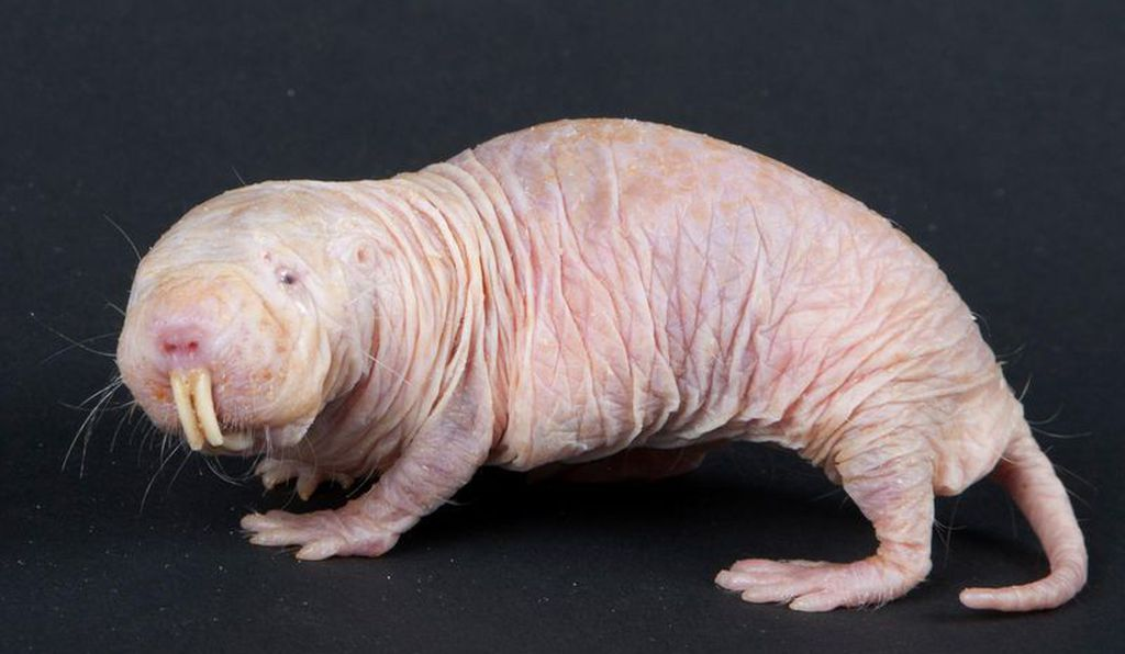 The Murtlap's resemblance to a naked mole rat is truly uncanny.