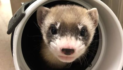 Elizabeth Ann Is the First Cloned Black-Footed Ferret