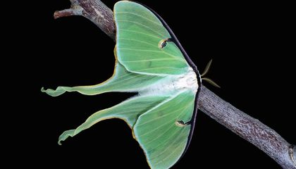 Luna Moths' Gorgeous Wings Throw Off Bat Attacks