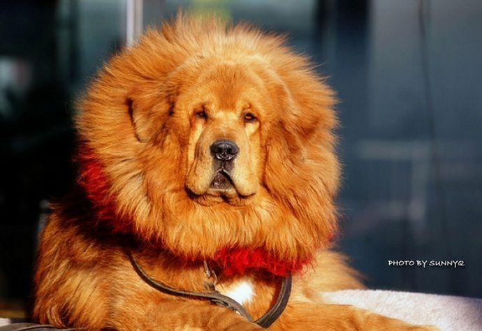 A Tibetan Mastiff Just Sold for Almost $2 Million | Smart