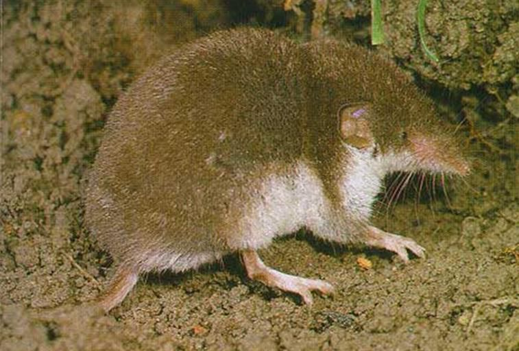 A Shrew-Borne Virus Is Responsible for Deadly Brain Infections in Humans