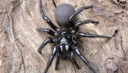 Australian Zoo Calls for Public Help Collecting One of the World's Deadliest Spiders