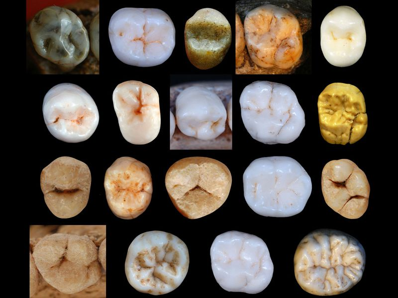 Hominin Teeth