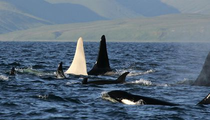 Rare Sighting of All-White Orca Whale
