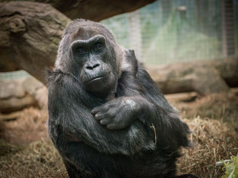 239540949bc6 Colo died at age 60 in the zoo where she was so famously born. (Columbus Zoo  and Aquarium Facebook)