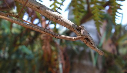 Stick Bugs Have Sex for Two Months Straight