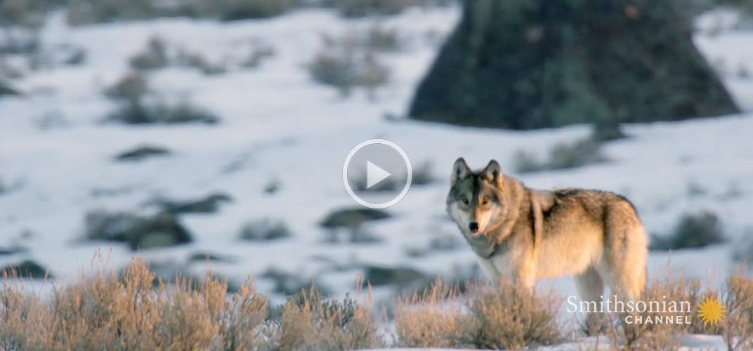 Caption: Casey Anderson's Wild Tracks: Wolves on the Hunt