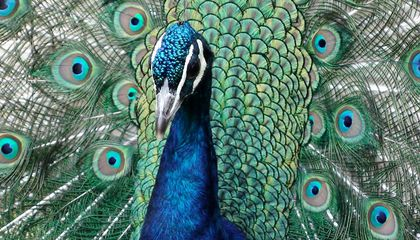 Emotional Support Peacock Barred From Flying on United Airlines
