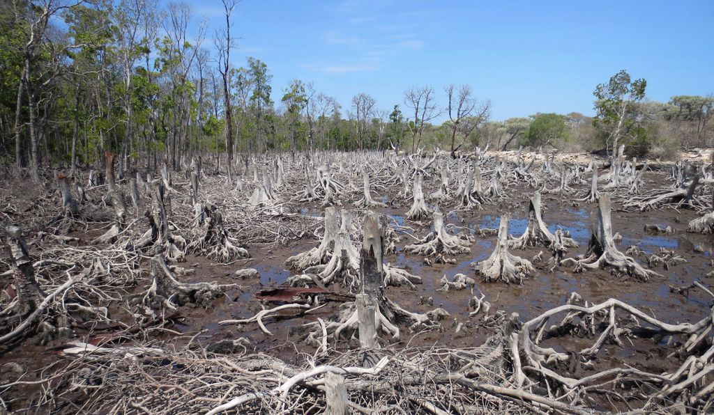When mangroves are clear-cut, the ecosystem can be devastated.