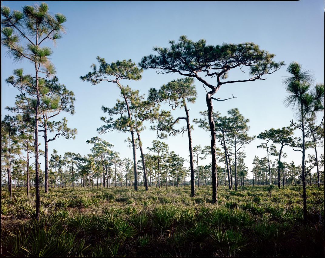 Photos Document the Last Remaining Old-Growth Pine Forests