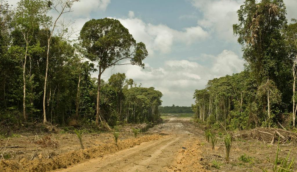 Land cleared on the island of Borneo for a palm oil plantation.