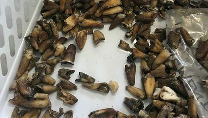 Archaeological Dig at Australian Metro Station Unearths 1,000 Human Teeth
