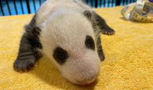 Pictures and Video of Panda Cub's First Vet Exam