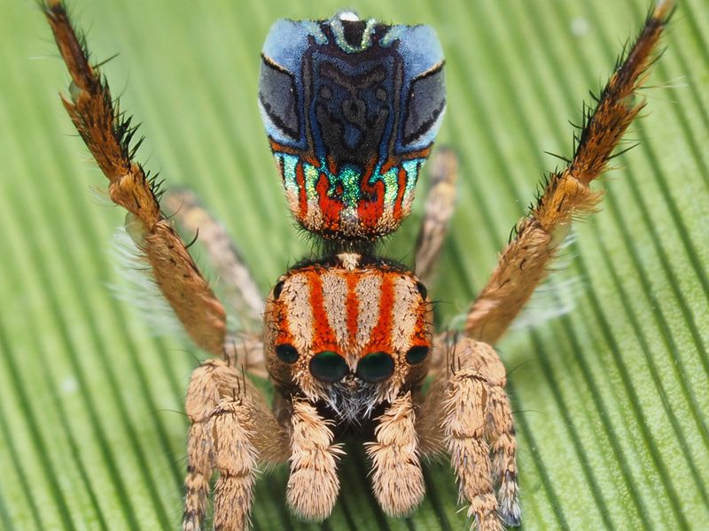 Maratus azureus (photo by Joseph Schubert).jpg