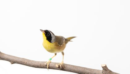Common yellowthroats, like the one pictured here, spend their winters in coffee growing regions in Latin America.