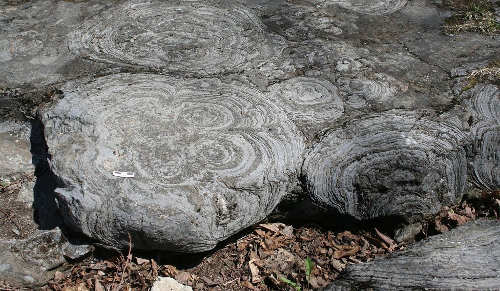 Stromatolites in the Hoyt Limestone (Cambrian) exposed at Lester Park, near Saratoga Springs, New York.