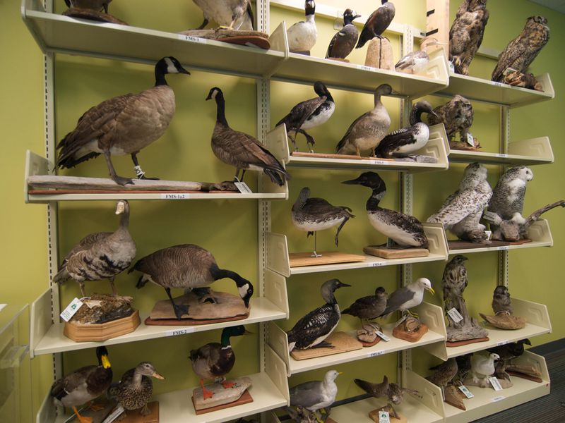 This Library in Anchorage Lends Out Taxidermy Specimens