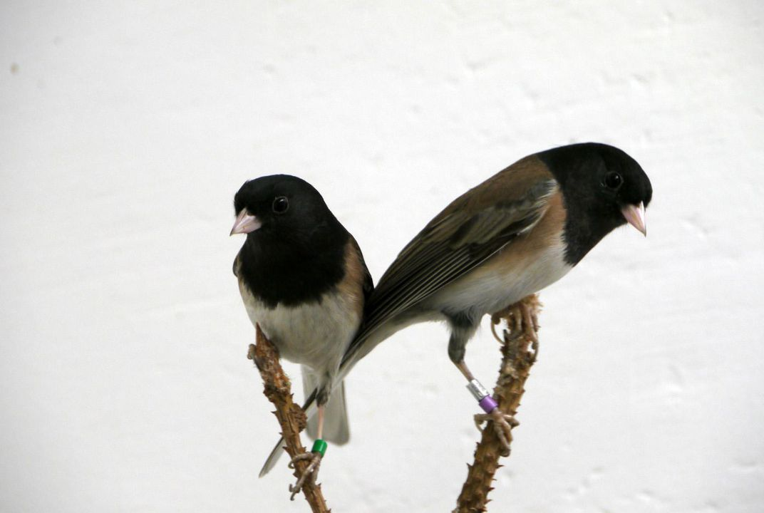 Birds Sniff Each Other's Bacteria to Help Choose a Mate