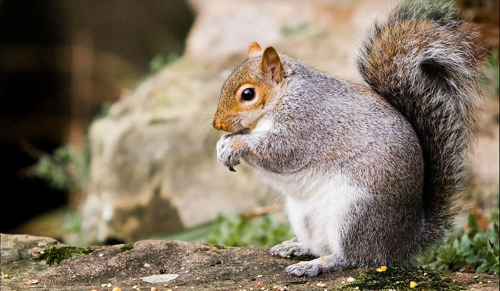 The researchers spent several winter days tracking down squirrels across the city of Oberlin, Ohio