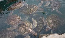 Captive Sea Turtles Extract Their Revenge by Making Tourists Sick