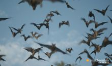 Preview thumbnail for video 'Why Bats Are Better Than Humans at Dealing With Viruses