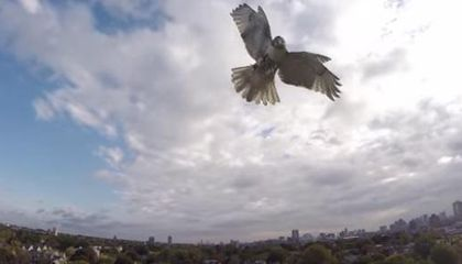 Here's What Happens When a Hawk And a Drone Fight