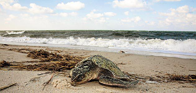 Saving the World's Most Endangered Sea Turtle   Science