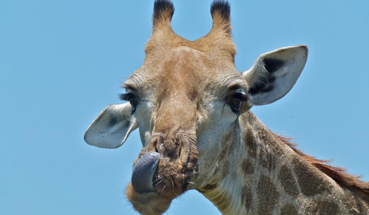 How Nematodes Are Irritating Giraffes