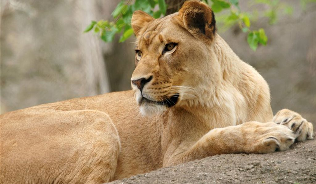 A Lioness Killed the Father of Her Cubs in Rare Attack at