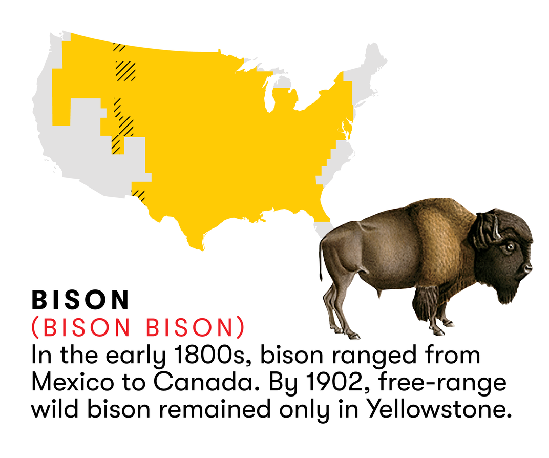 The Bison Returns to the Great American Plains | Science