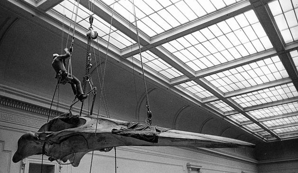 A workman installs the huge blue whale skull known as