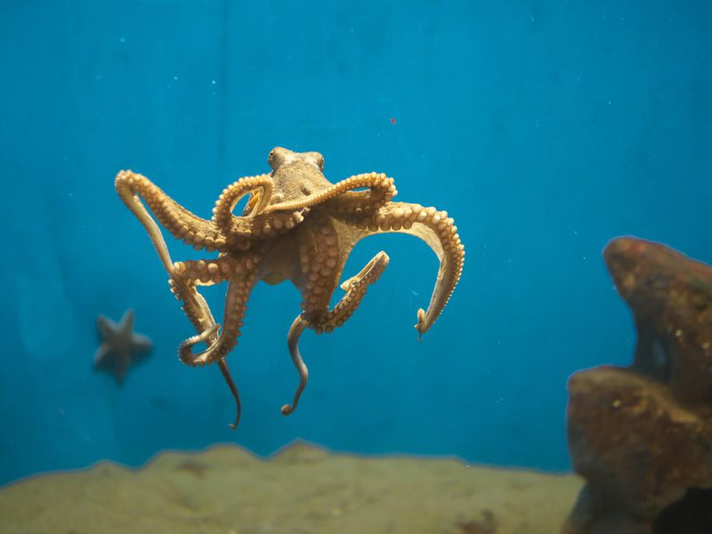 An octopus—not Heidi—swims in a tank.